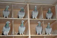 Pigeon females in a dovecote royalty free stock photo