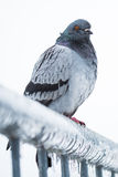 Pigeon on a fence full of icicles Stock Image