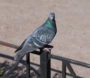 Pigeon fier image libre de droits