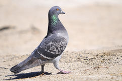 Pigeon fier Photos stock
