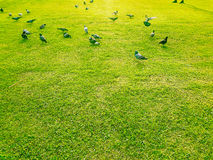 Pigeon find food on grass Royalty Free Stock Images