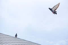 Pigeon flies in the blue sky in a sunny day. stock photos