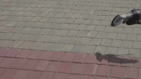 Pigeon flies and lands several times. Slow motion view stock footage