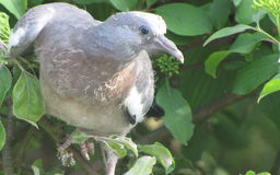 Pigeon flies out tree. Young pigeon has landed in a tree after flying out of the nest. He is ready tot fly again out of the tree Stock Photo