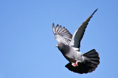 Pigeon in flight. Against a blue sky Stock Photo