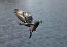 Pigeon in flight Royalty Free Stock Photos