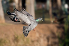 Pigeon in flight. A pigeon flies up into the air in a local city park stock photos