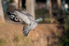 Pigeon in flight Stock Photos