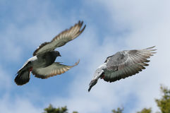 Pigeon in flight. Grey pigeon flying. Composite image of the bird. Two views of his wings and body position royalty free stock images