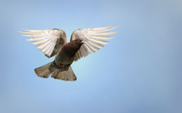 Pigeon in flight. Beautiful brown and white pigeon in flight, blue sky background royalty free stock images
