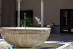 Pigeon in flight against water fountain.  Stock Photography