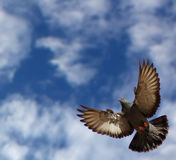 The pigeon in flight Stock Photography