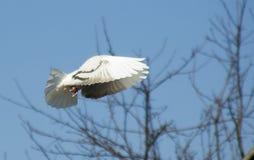 Pigeon flight on blue sky Royalty Free Stock Photography