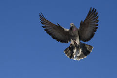 Pigeon in flight Stock Images