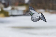 Pigeon in flight Stock Image
