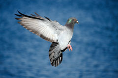 Pigeon in flight over blue water. Pigeon in flight with wings spread, over water Royalty Free Stock Image