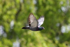 Pigeon in flight over green background Stock Photos