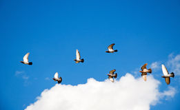 Pigeon Flock Royalty Free Stock Photos