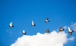 Pigeon Flock Royalty Free Stock Photos