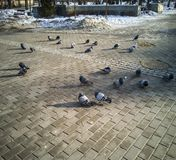 A pigeon flock basks in the winter sun of a city park royalty free stock image