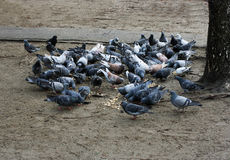Pigeon flock eating. Royalty Free Stock Image