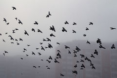 Pigeon flock in a foggy city Royalty Free Stock Image