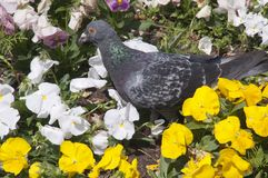 Pigeon in a flowerbed of white and yellow pansy flowers royalty free stock photo