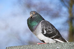 Pigeon Fluffed Against The Coid Royalty Free Stock Photo