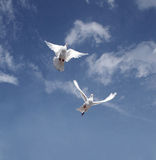 Pigeon fly. White pigeon pair fly on the sky Royalty Free Stock Images