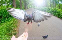 Pigeon fly on hand palm food nuts and park Royalty Free Stock Photography