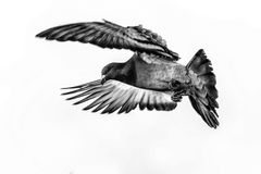 Pigeon in fly. Photo of flying pigeon in black and white royalty free stock photography