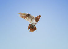 Pigeon flying. Beautiful brown and white pigeon flying. Clear blue sky background royalty free stock images
