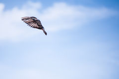 Pigeon Flying Royalty Free Stock Photography