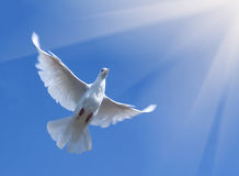 Pigeon flying in blue sky. Low angle view of white pigeon flying in blue sky towards rays of sunlight Stock Photo
