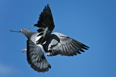 Pigeon flying with branch. Pigeon in flight while holding branch in beak Stock Image