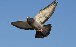 Pigeon flying with open wings, Dove in the air with wings wide open in-front of the blue sky Royalty Free Stock Photos
