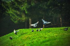 Pigeon flying over the green field in the mountain stock image