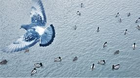 Pigeon flying over water and floating ducks top view royalty free stock photo