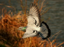 Pigeon. Flying pigeon under lake and reed Stock Photos