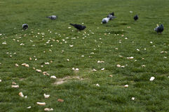 Pigeon and food on the green grass area Stock Photo