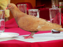 Pigeon on food table Royalty Free Stock Photography