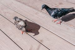 A pigeon found a nut. Another pigeon wants to take it away royalty free stock images