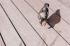 Pigeon found and picked up. A piece of food royalty free stock photography