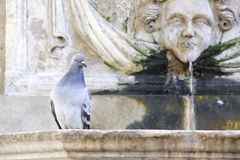 Pigeon on a fountain. A pigeon sitting on a fountain's edge watching the world go by Royalty Free Stock Photography