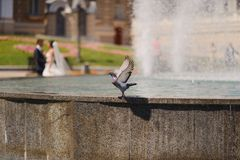 Pigeon and a fountain Stock Photography