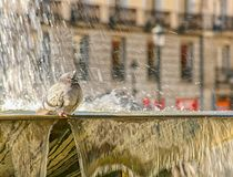 Pigeon on the fountain Stock Photos