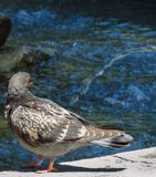 Pigeon in the fountain. On a very hot day royalty free stock photos