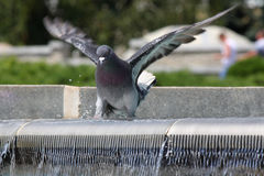Pigeon in fountain Royalty Free Stock Photo