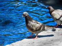 Pigeon in the fountain. On a very hot day stock image