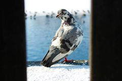 Pigeon royalty free stock photos